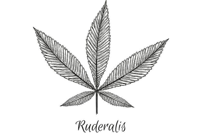 Ruderalis